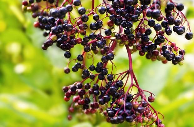 Бузина травянистая. лечебные свойства, применение
