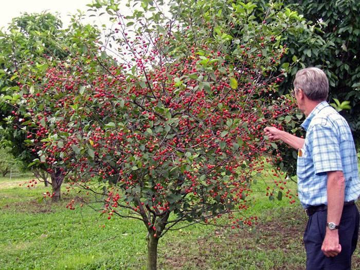 Сорта вишни: для урала, подмосковья, самоплодные, низкорослые