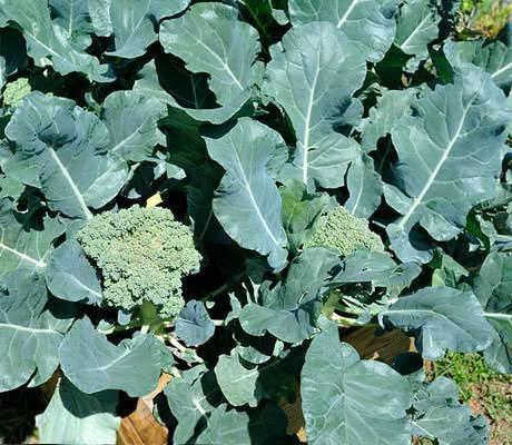 Выращивание капусты брокколи: 8 полезных советов