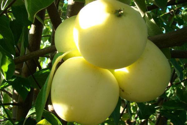 Как правильно посадить и ухаживать за яблонями сорта белый налив
