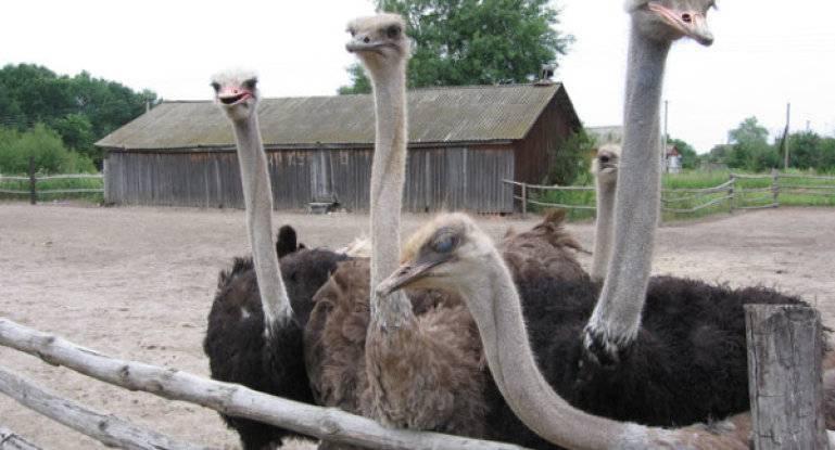 Как разводить страусов в домашних условиях?