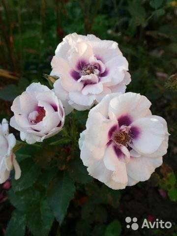 Описание розы флорибунда айс фо ю: что это за сорт, особенности посадки и ухода