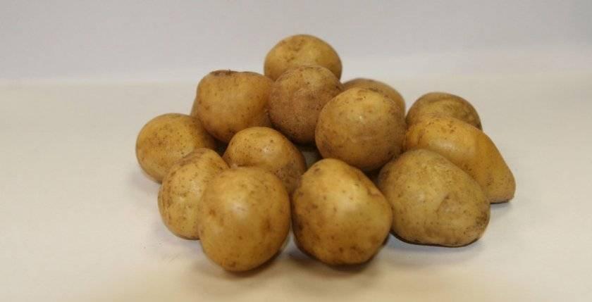 Сорт картофеля ривьера: описание, посадка и уход