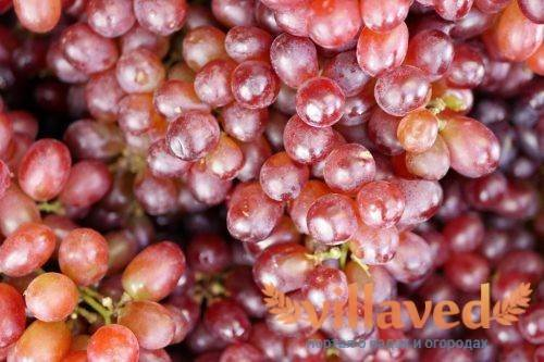 Виноград молдова: описание сорта с характеристиками, фото и отзывами