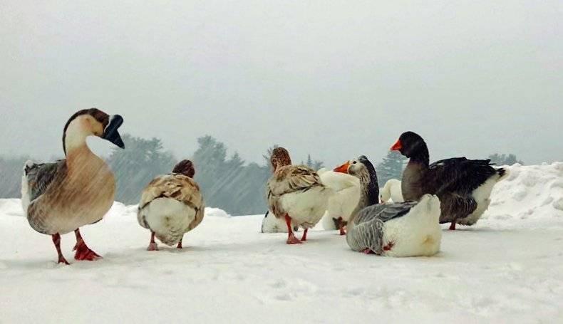 Чем кормить гусей на забой при домашнем разведении