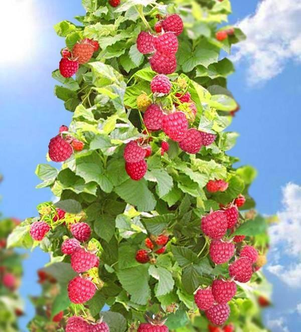 Малиновое дерево, посадка и уход, выращивание штамбовых сортов