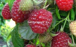 Ремонтантная малина: выращивание и уход, обрезка, подкормка