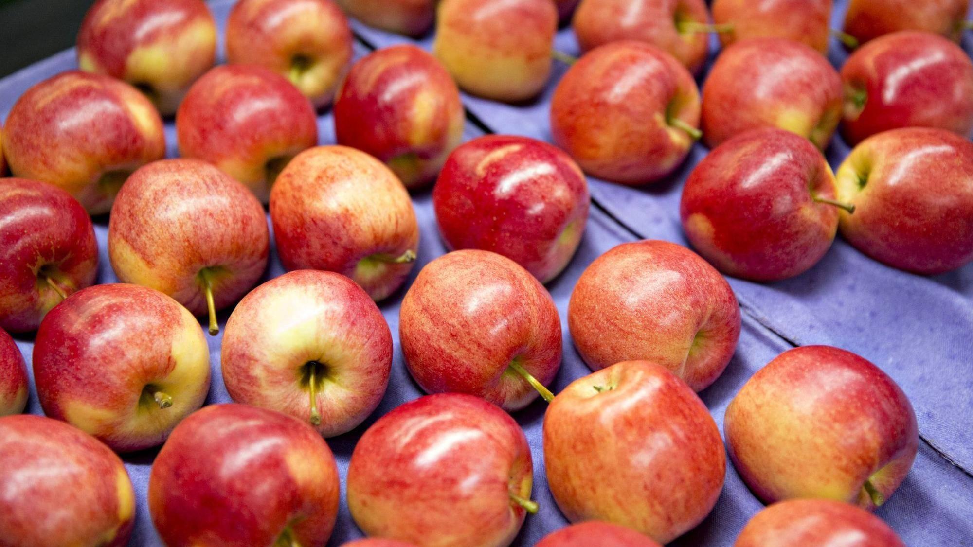 Яблоня гала — всемирно известный сорт, популярный на юге россии