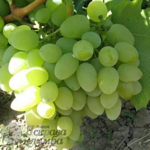 Сорт винограда сенатор павловского и бурдака: характеристика и описание сорта, посадка и уход