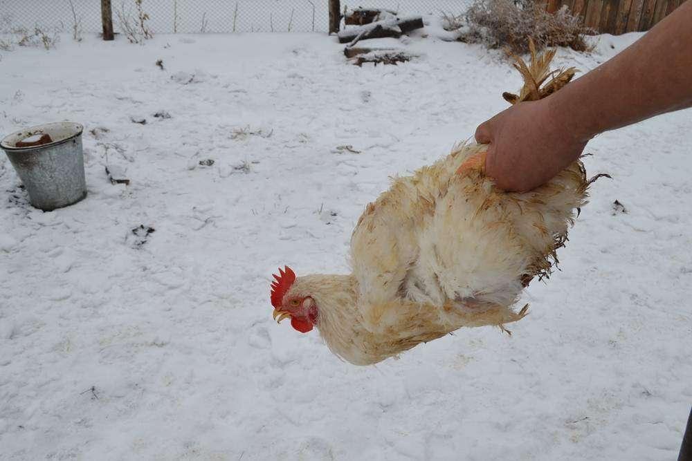 Как убить курицу: 5 простых шагов для начинающих | выживание в дикой природе