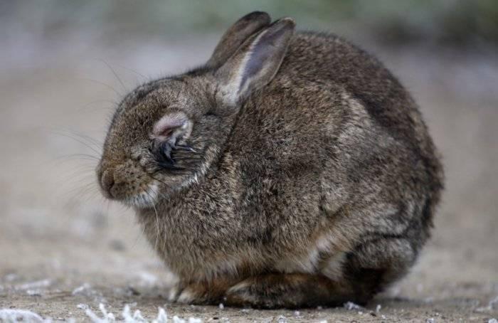 О болезнях кролика, симптомах и их лечении — вздутие живота: что делать, причина