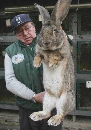 Кролики породы серый великан: характеристика, уход, содержание и разведение