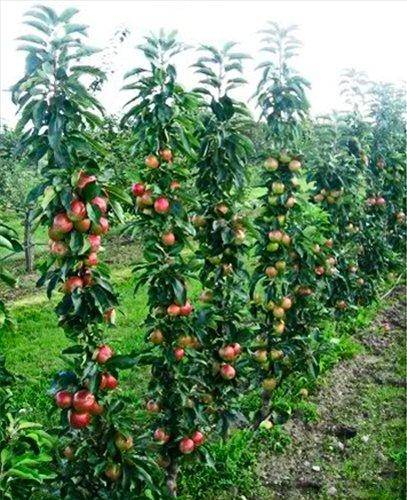 10 самых популярных летних сортов яблок