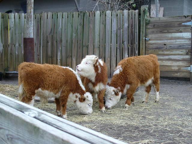 Мини-коровы: особенности и описание пород
