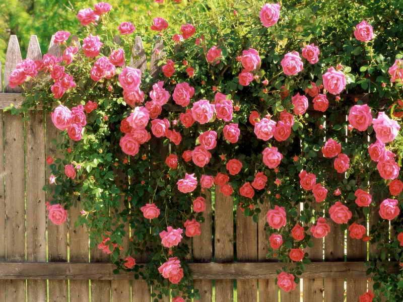 Почему не цветет китайская роза комнатная