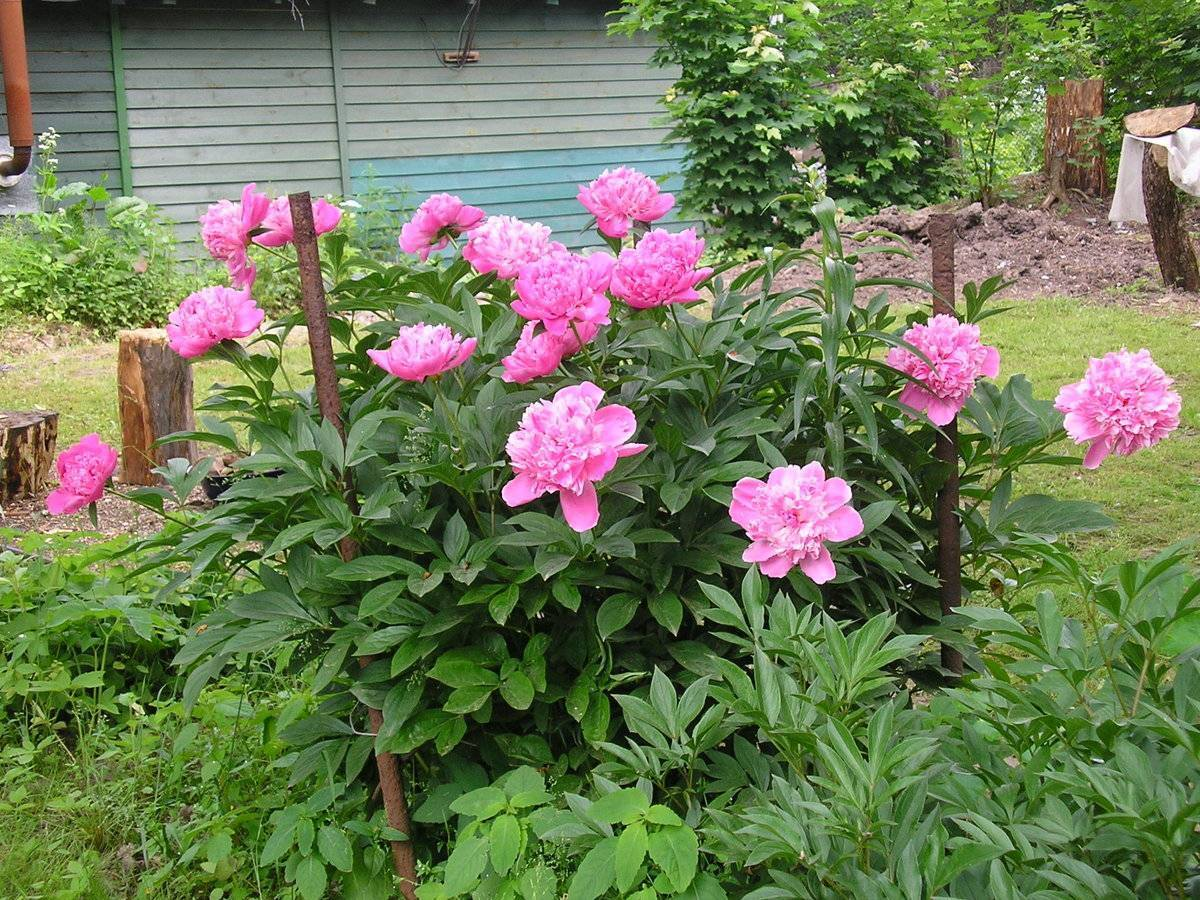 Цветок пион: описание, разновидности, особенности выращивания. что посадить рядом с пионами на клумбе