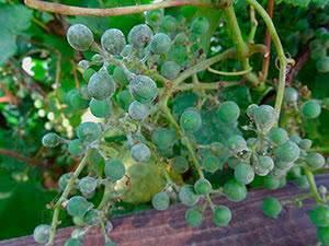 Разновидности болезней винограда и меры борьбы с ними