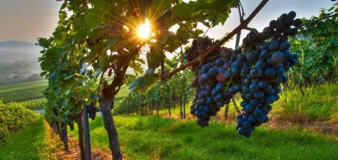 Древний грузинский сорт винограда «саперави»