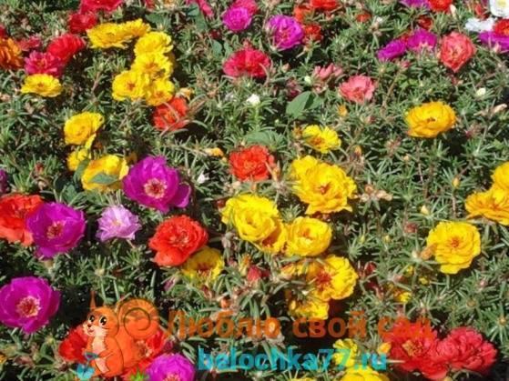 Огородный портулак – как вывести растение из огорода, эффективные гербициды