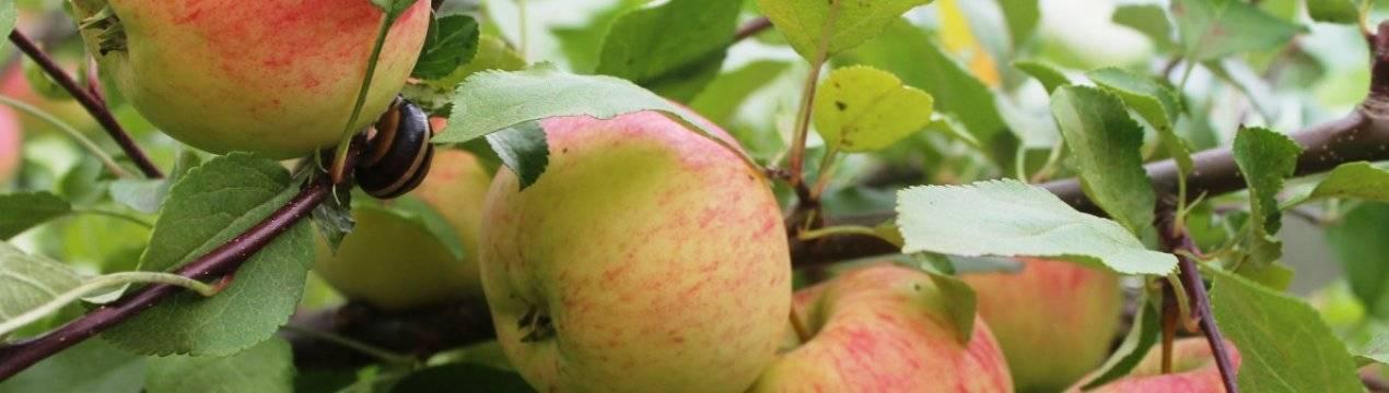 Подробное описание сорта яблок бельфлер китайка - общая информация - 2020