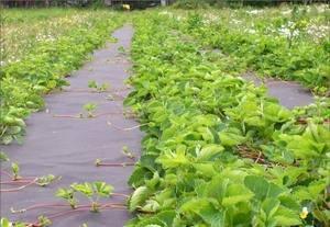 Как сажать клубнику под укрывной материал и как использовать против сорняков