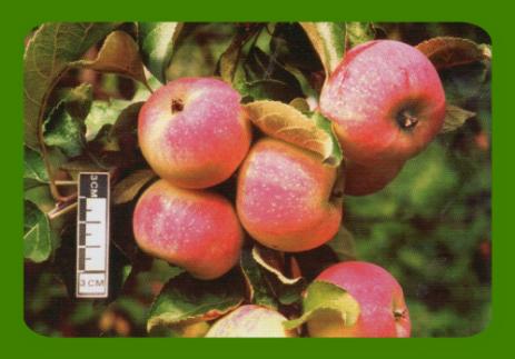 Пепин шафранный: как добиться отличного яблочного урожая