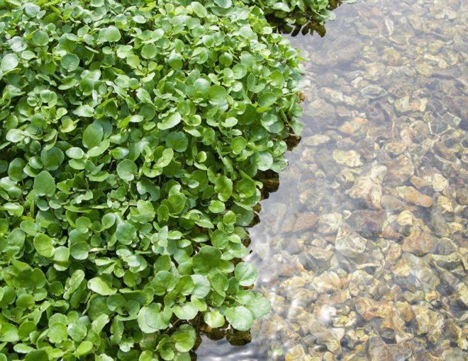 Водяной кресс – чудный дар природы
