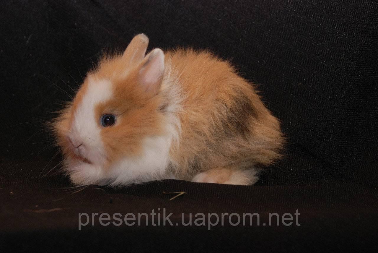 Ангорский декоративный кролик: описание породы, уход, содержание и кормление