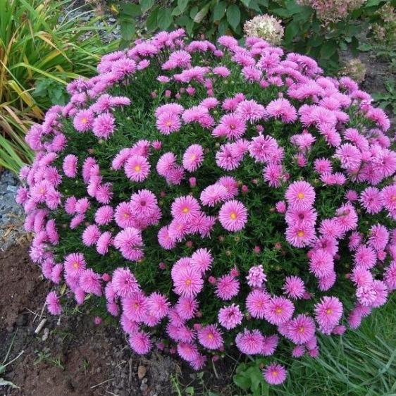 Астра кустарниковая: описание, сорта, размножение и уход