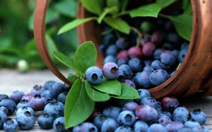 Выращивание черники из семян в домашних условиях
