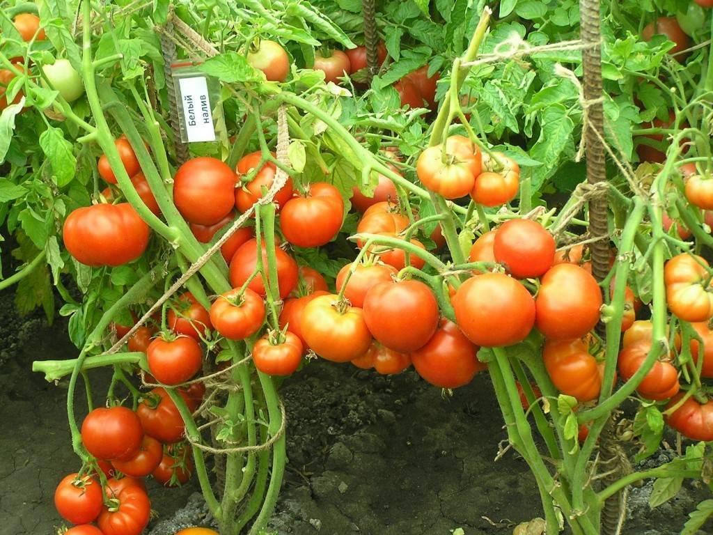 простота томат ушаков фото характеристика описание проживания одного человека