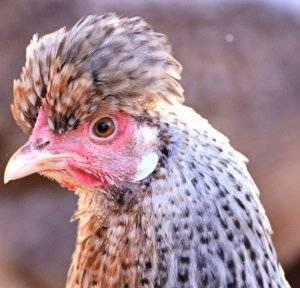 Порода кур легбар: хохлатые кремовые птицы