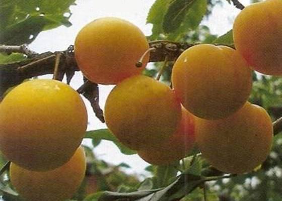 5 золотых правил посадки и ухода за лучшими сортами сливы в сибири