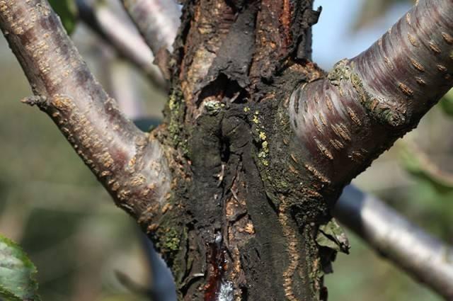 Если треснул ствол у яблони — что делать и как спасти дерево?