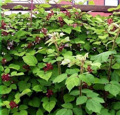Малина пурпурноплодная (японская): описание, полезные свойства, пищевая ценность, отзывы, применение в ландшафтном дизайне