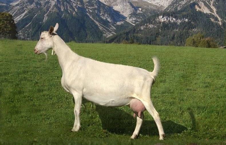 Зааненские козы – описание породы, подробно и содержании и разведении!