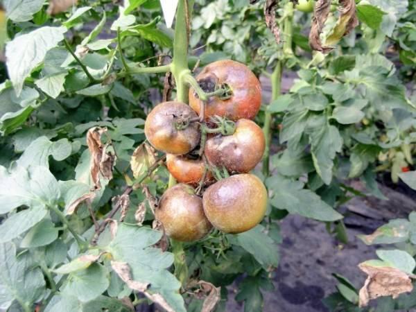 Все о методах борьбы с фитофторой на томатах в теплице: чем обрабатывать