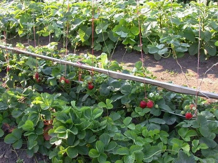 Выращивание клубники — правильная технология посадки и ухода. советы опытных садоводов по выращиванию клубники