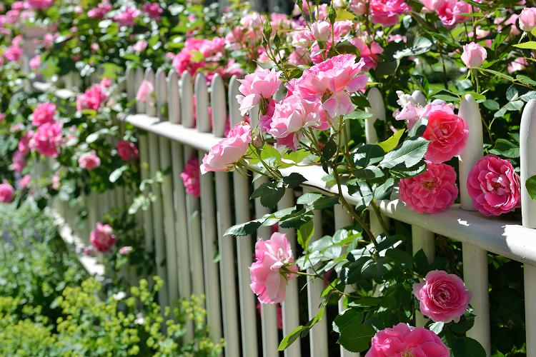 Удобрение роз: подкормки, уход, посадка, полив