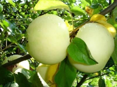 Папировка (сорт яблони)
