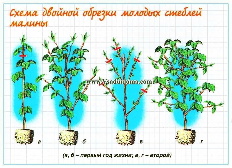 Штамбовая малина — особенности выращивания и обзор сортов