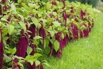 Как размножается растение молодило: выращивание из семян