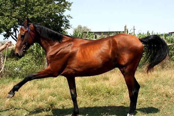 Сонник гнедая лошадь. к чему снится гнедая лошадь видеть во сне - сонник дома солнца