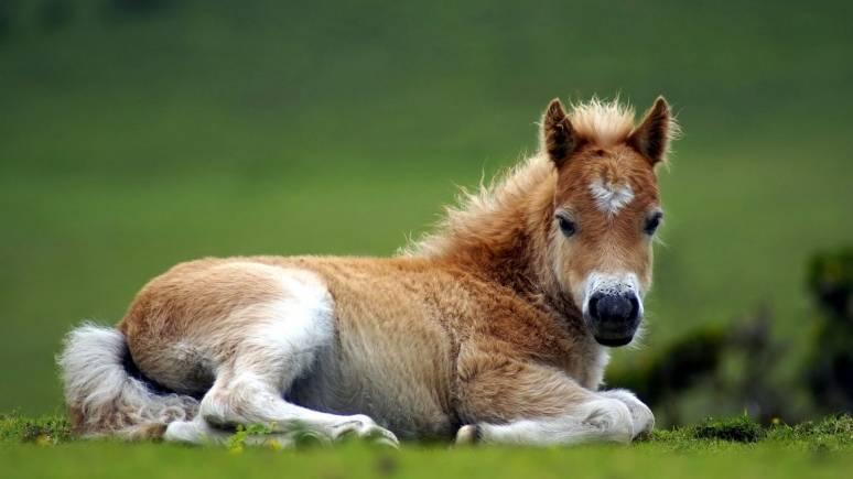 Как рожают лошади: сколько длится беременность, особенности вынашивания жеребенка