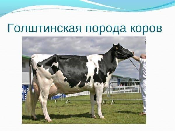 Характеристика голштинской породы коров