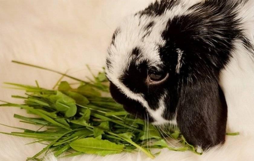 Можно ли кроликам молоко - общая информация - 2020