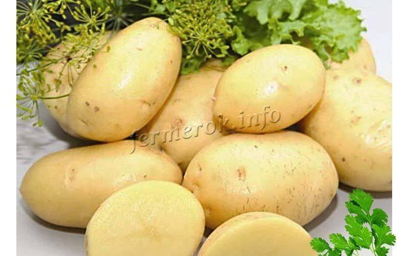 Сорт картофеля коломбо: характеристика и отзывы