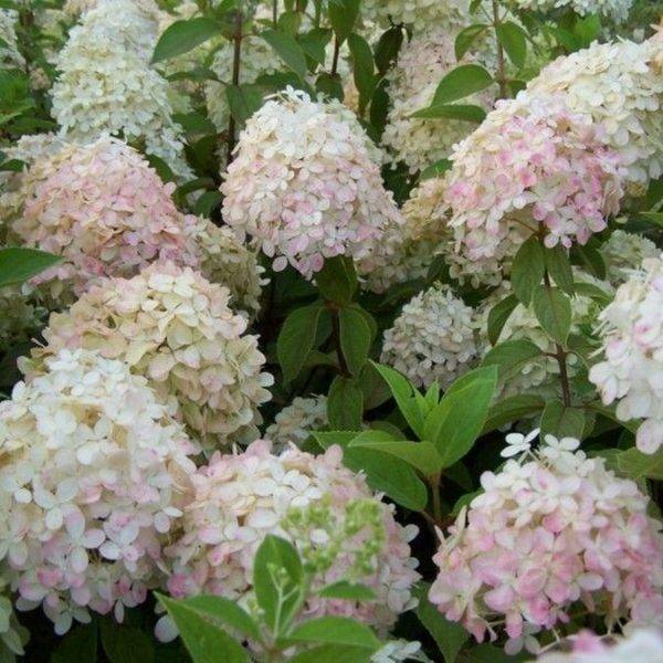 Советы садоводам: выращивание гортензии метельчатой сорта фантом