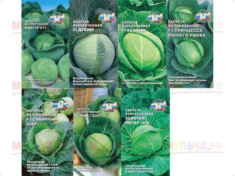 Описание и характеристика капусты сорта амагер