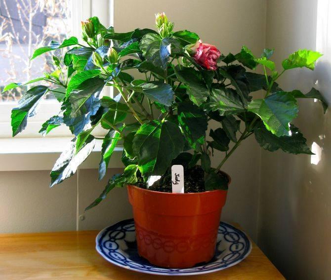 Гибискус: фото и уход в домашних условиях. сортовые комнатные виды цветов гибискус (сирийский и китайский)